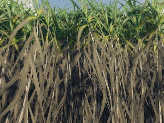 So groß wächst Zuckerrohr in der Natur.